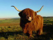 Highland Cow Jigsaw